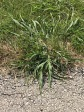 Crabgrasss
