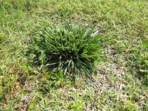 K-31 fescue (orchard grass)