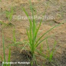 Nutsedge (Nutgrass)